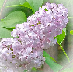 Lilac blossom in Milford, NH, USA 20190530_190700 (LarryJ47) Tags: samsung s7 lilac usa milford nh flower color outdoors spring leaves green vignette purple magenta