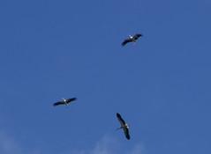 Vliegend boven het nest (~~Nelly~~) Tags: mechelen planckendael ooievaar cigogne stork