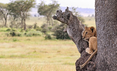 On The Lookout ... (AnyMotion) Tags: lion löwe pantheraleo young jung tree baum liontree lookout landscape landschaft bokeh 2018 anymotion morukopjes serengeti tanzania tansania africa afrika travel reisen animal animals tiere nature natur wildlife 7d2 canoneos7dmarkii npc