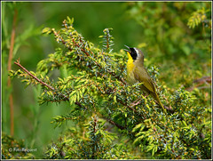 Common Yellowthroat (FotoRequest) Tags: nature animals birds wildlife ngc
