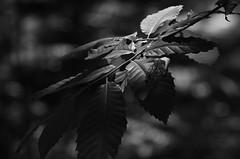 Feuille de maronnier entre ombre et lumière (dreamearth 85) Tags: black noiretblanc blackandwhite bw wb maronnier feuilles bois nature vendée leaves nikon woods forest boom chestnut kastanje bladeren france d7000 tamron