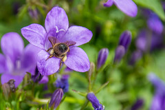 Head first. (Azariel01) Tags: 2019 belgique belgium brussels bruxelles blooming fleur flower floraison campanule campanula bellflower abeille bee pollen nectar pétales petals