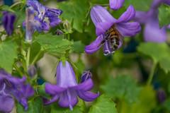 DSC_0481-1 (Azariel01) Tags: 2019 belgique belgium brussels bruxelles blooming fleur flower floraison campanule campanula bellflower abeille bee pollen nectar pétales petals