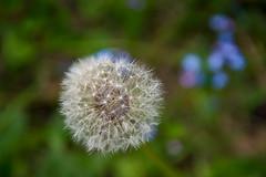 Dandelion and forget-me-nots. (Azariel01) Tags: 2019 belgique belgium brussels bruxelles blooming fleur flower semences seeds pissenlit dandelion myosotis forgetmenots