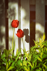 Old Friends (Katrina Wright) Tags: dsc3710edit2 tulips redtulips fence two shadow sunlight garden hff fencedfriday