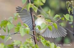 Pajulintu, Phylloscopus trochilus, Willow Warbler (Paavo Laine) Tags: kesä lehdet pikkulintu siivet phylloscopustrochilus pajulintu