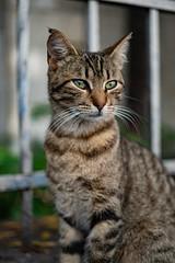 Tabby Cat - 1 (Erman Peremeci) Tags: sonya6500 carlzeiss sonyalpha sonye pets zeisstouit32mm emount cat istanbul cats animals kadıköy turkey touit1832