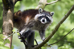 Raton laveur (Jtofs85) Tags: animal cremines jurabernois jura jura3lacs sony switzerland swiss a99m2 a99ii 70200 f28 zoo family activity