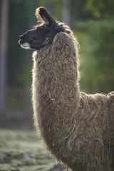 Lama (Jtofs85) Tags: animal cremines jurabernois jura jura3lacs sony switzerland swiss a99m2 a99ii 70200 f28 zoo family activity