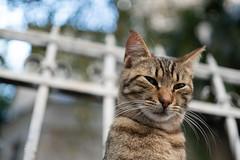 Tabby Cat - 2 (Erman Peremeci) Tags: sonya6500 carlzeiss sonyalpha sonye pets touit1832 cat emount zeisstouit32mm istanbul cats animals kadıköy turkey