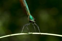 (Jérôme_M) Tags: canon eos 600d macro proxy nature faune insecte libellule aquitaine landes seignanx printemps