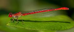 Desert Firetail (Telebasis salva) (Eric Gofreed) Tags: bubblingponds damselfly desertfiretail macrophotography telebasissalva yavapaicounty macro ngc