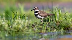 Killdeer (Gary R Rogers) Tags: bird plover water killdeer grass pose charadriusvociferus