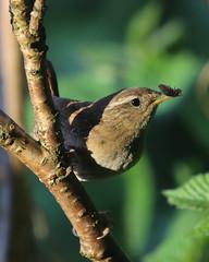 Evening Meal (Treflyn) Tags: evening meal bird woodlouse wren nice morsel nest back garden earley reading berkshire uk