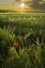 Backlit (Glenn D Reay) Tags: poppy chesterlestreet greatlumley field sunset lone solitary colourful pentaxart pentax k70 glennreay
