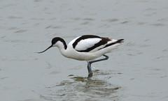 Recurvirostra avosetta (Pied Avocet / Kluut) (Bas Kers (NL)) Tags: 2019 may mei europe netherlands noordholland deputten