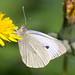 Suur-kapsaliblikas; Pieris brassicae; Large White ♂