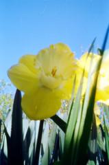 narciso-1 (Pinhole Auloma) Tags: pinhole stenopeica estenopeica estenopo lochcamera sténopé film 135 kodak lensless analog analogic flower fiori fleur landscape macro closeup auloma attaphoto curva45