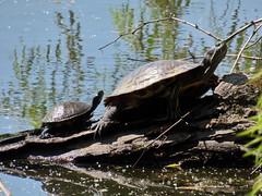 twoturtlesinMay (michaelmaguire4) Tags: turtles