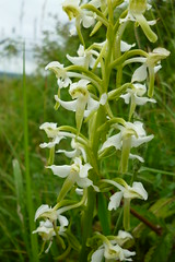 Greater butterfly orchid (roger_forster) Tags: greaterbutterfly orchid platantherachlorantha badburyrings dorset nationaltrust plant
