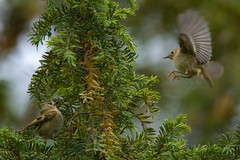 Goldcrest Family : Training Junior (Franck Zumella) Tags: bird small oiseau petit smallest goldcrest roitelet huppe huppé kinglet animal nature tree arbre wildlife green yellow sauvage vie vert jaune sony a7s a7 tamron 150600 junior chick young jeune poussin food feed manger nourriture spring printemps oisillon