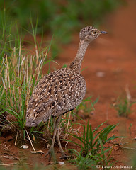 Red-crested Korhaan (female) (leendert3) Tags: leonmolenaar wildlife nature southafrica krugernationalpark animal bird redcrestedkorhaan naturethroughthelens