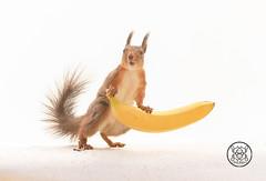 red squirrel  holding a banana (Geert Weggen) Tags: red summer cute nature animal closeup mammal happy rodent squirrel funny ground light food love look spring bright vegetable health load wondering tender carry yellow fruit sweden banana openmouth jämtland bispgården geert ragunda weggen hardeko
