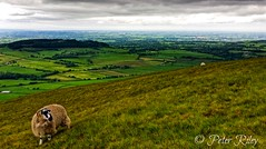 Sheep on Parlick Pike. (peterileypics) Tags: sheep animal hill mountain pike scenery landscape nature parlick wildlife lancashire