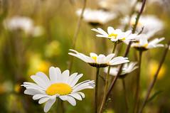Sommerzeit - Margeritenzeit (Mariandl48) Tags: margeriten margeritenzeit sommersgut wenigzell steiermark austria