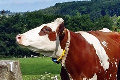 eine sehr selbstbewusste Kuh (mama knipst!) Tags: kuh cow vache tier animal landwirtschaft