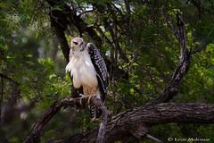 Juvenile Martial Eagle (leendert3) Tags: leonmolenaar wildlife nature southafrica krugernationalpark naturalhabitat animal bird raptor birdsofprey martialeagle ngc coth5