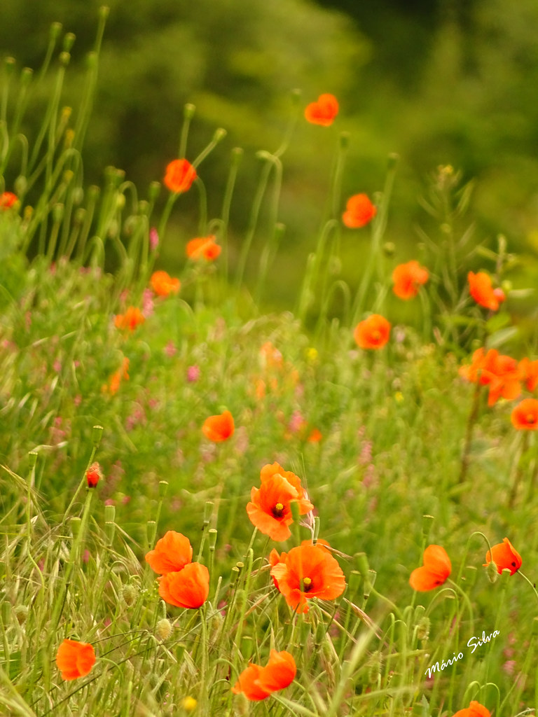 Águas Frias (Chaves) - ... e as papoilas (Papaveraceae) pululam que nem borboletas ...