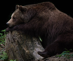 And now what? (Valérie C) Tags: bear animal zoo nature zurich