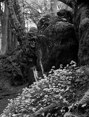 garlic flowers (a.pierre4840) Tags: olympus omd em10 micro43 cmount schneider kreuznach xenon 25mm f095 bw blackandwhite noiretblanc trees forest woodland flowers rock landscape gloucestershire england