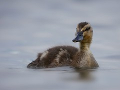 Duckling (PhotoLoonie) Tags: duckling duck mallard waterbird wildlife nature attenboroughnaturereserve spring