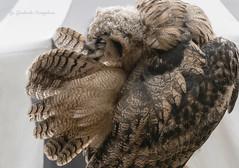 Young owl (Lyutik966) Tags: bird owl animal predator plumage feathers fauna russia moscow coth5