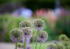 Alliums, lupins, iris (tonybill) Tags: zeissaposonnar135mmf2 sonya7riii flowers gardens may miscellaneous bokeh surrey wisley rhswisley rhs