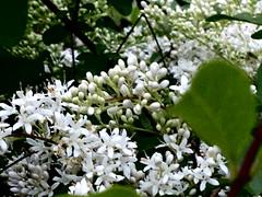 si sente il profumo??? (guendaeio (giuliana)) Tags: fiori flowers bianco white ligustro siepe profumo iphone5c macro bokeh verde green privet perfume hedge