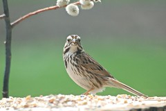 Exchanging glances.... (Jeannette Greaves) Tags: bird glance 2019 seed home yard pussywillowbranch grass