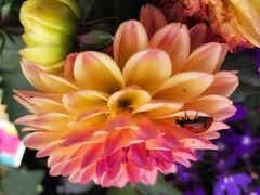 Simply Hanging (Robert Cowlishaw (Mertonian)) Tags: beauty beautiful downlooking lunchstroll spring2019 colours colors wonder awe ineffable ladybug robertcowlishaw mertonian 4sophia iphone8plus ifone iphone