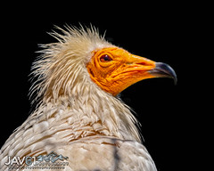 Egyptian vulture (Neophron percnopterus)_4098 (George Vittman) Tags: france bird vulture portrait nikonpassion wildlifephotography jav61photography jav61