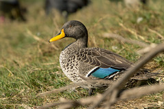 Sitting Duck (Arranion) Tags: intaka bird water animal action wing fly feather canon 7d 14x wildlife