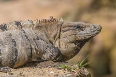 CA3I8421-Common Spiny-tailed Iguana (tfells) Tags: commonspinytailediguana reptile mexico playadelcarmen yucatan nature wildlife ctenosaurasimilis