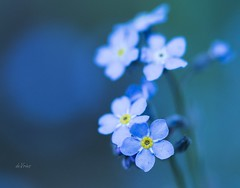 Forget Me Not . . . (Dr. Farnsworth) Tags: flower small blue plae white yellow forgetmenot westlake mi michigan spring may2019