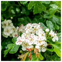 Blossom, Hatchbank Road (wwshack) Tags: gairneybank hatchbankroad kinross scotland thorn blossom