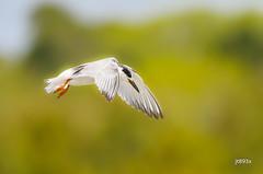 Common Tern (jt893x) Tags: 150600mm bif bird jt893x nikon nikond500 sigma sigma150600mmf563dgoshsms sternahirundo tern thesunshinegroup coth alittlebeauty coth5 ngc sunrays5