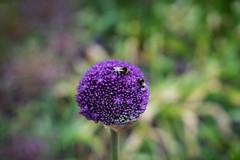 Allium with bees (tonybill) Tags: flowers gardens may miscellaneous nikkor50mmf12ais rhs rhswisley sonya7iii surrey wisley bokeh
