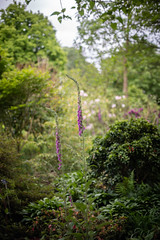 Foxgloves (tonybill) Tags: flowers gardens may miscellaneous nikkor50mmf12ais rhs rhswisley sonya7iii surrey wisley bokeh