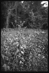 wild flowers, field, forest's edge, Asheville, NC, Bencini 24S, Bergger Pancro 400, HC-110 developer, 5.28.19 (steve aimone) Tags: wildflowers field forestsedge asheville northcarolina bencini bencinikoroll24s berggerpancro400 hc110developer 120 120film film halfframe mediumformat monochrome monochromatic blackandwhite landscape