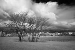 bruthen-2305-ps-w (pw-pix) Tags: farm farming cattle paddocks grass trees baretrees autumn cold windy fence fences undulating clouds sky sun overcast tamboriver riverbanktrees walking walk adaptedlens nikon142428afs nikkor1424mm128ged nikkor142428 nikon142428 bw blackandwhite monochrome sonya7 irconvertedsonya7 850nminfrared ir infrared bruthen eastgippsland victoria australia peterwilliams pwpix wwwpwpixstudio pwpixstudio